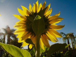Solo_Sunflower